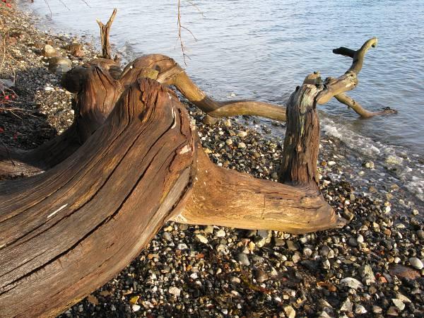 Væltet træ på stranden