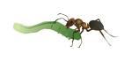 Rød skovmyre der bærer en larve